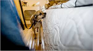 Bed bug detection dog