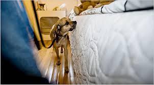 Bed bug detection dog